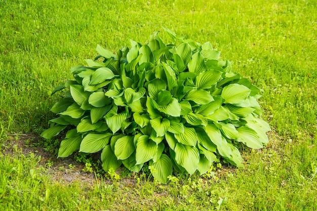緑の草が茂った牧草地に大きな葉を持つ緑のブッシュ。