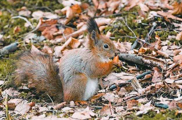 ナッツとドングリを食べる森の赤リス