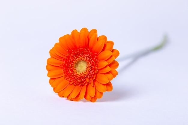 白地にオレンジのガーベラ。クローズアップ、セレクティブフォーカス、分離します。
