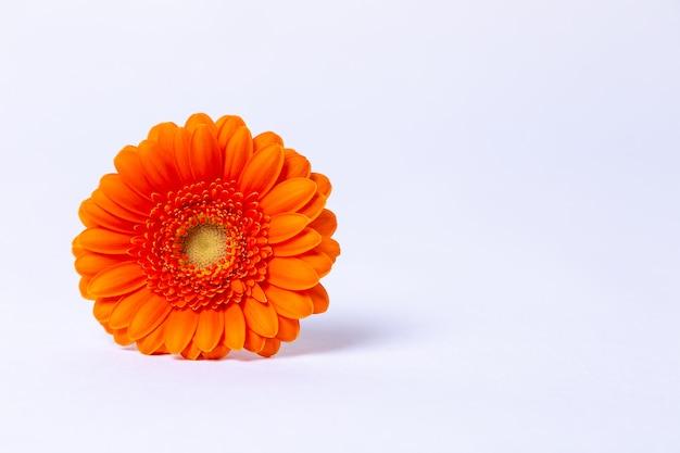 白地にオレンジのガーベラ。クローズアップ、セレクティブフォーカス、分離します。テキストのための場所。