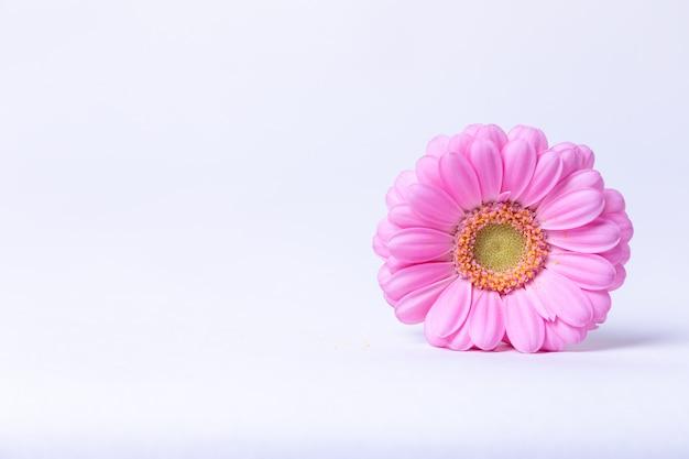 白地にピンクのガーベラ。クローズアップ、セレクティブフォーカス、分離します。テキストのための場所。