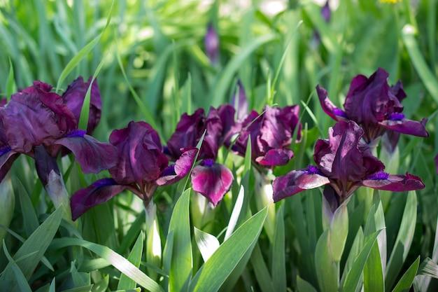 庭の春の晴れた日の紫色のアイリスのグループ。花の背景