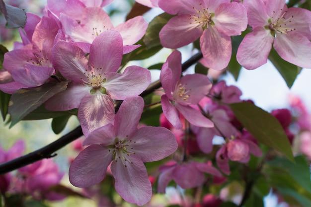 Цветущая райская яблоня. фон с розовыми цветами. весенний сад