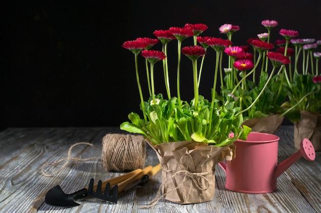 Первые весенние красочные цветы готовы к посадке. рабочая область, посадка весенних цветов. садовые инструменты, растения в горшках и лейки на темном столе