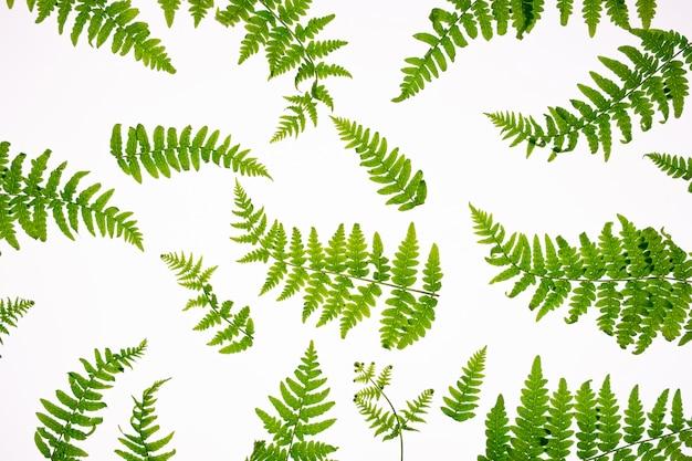 緑の熱帯シダの葉の白い背景で隔離の平面図です。シダの葉を持つ最小限の夏のコンセプト。フラットレイ
