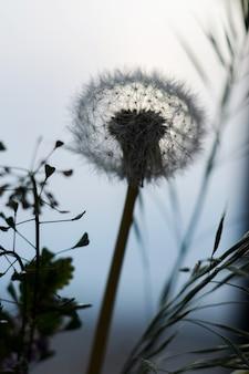 タンポポと青空を背景に草