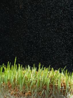 Проросшие семена пшеницы в на темном фоне