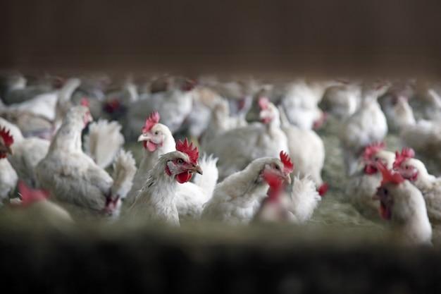 農場の建物の中の多くの白い鶏