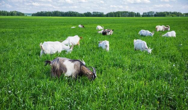 牧草地のヤギの群れ