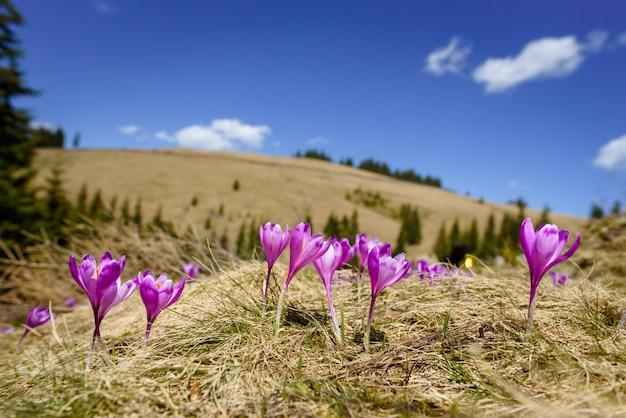 Цветение крокусов весной в альпах