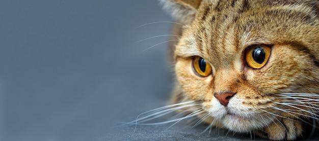 広告とテキストのためのスペースを持つベンガル猫