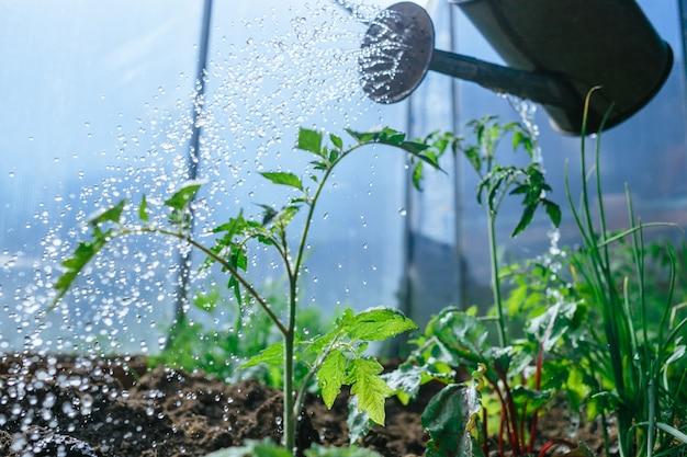 Женщина поливает рассаду лейкой