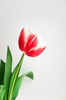 Розовый тюльпан. минималистская открытка к дню рождения, дню святого валентина, дню матери, свадьбе или другим праздникам. красивый цветок, вертикальный