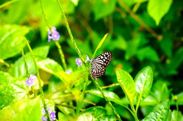 朝の花から蜜を飲む島の小枝の蝶が美しく見える
