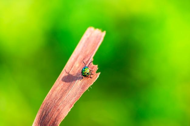 Насекомое зеленый жук сидел на ветке на рассвете