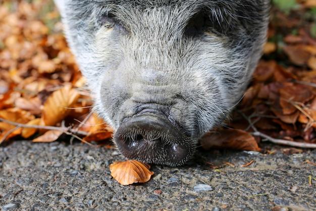 Прекрасная свинья. серая свинья с мокрым носом. животное гуляет по лесу. год свиньи. дикий кабан. дикое животное. смешная свинья