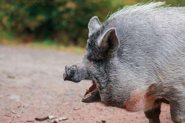 Прекрасная свинья. серая свинья с мокрым носом. животное гуляет по лесу. лицо свиньи. открытый кричащий рот