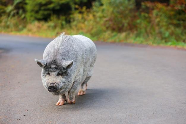Прекрасная свинья. серая свинья с мокрым носом. животное гуляет по лесу.