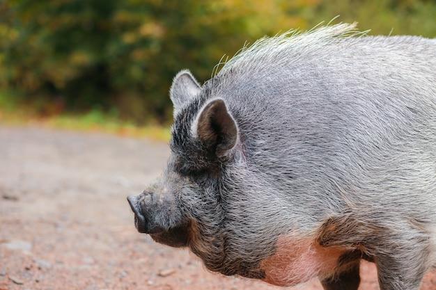 Прекрасная свинья. серая свинья с мокрым носом. животное гуляет по лесу. лицо свиньи.