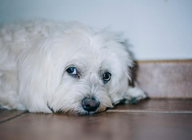 白犬ビションモルト