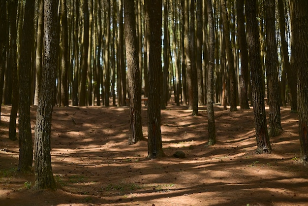 美しい朝と松林の木漏れ日