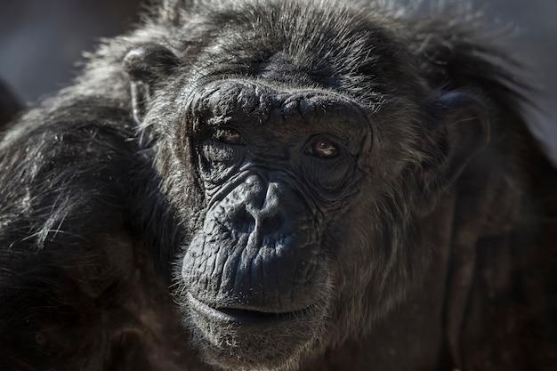 Старый портрет шимпанзе в зоопарке барселоны, в испании