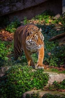Азиатский тигр в зоопарке барселоны, испания