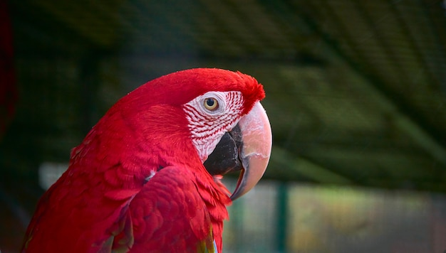 赤コンゴウインコ