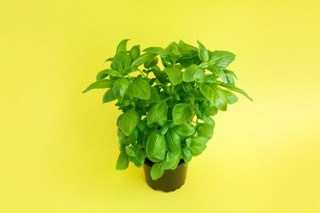 黄色の黒鍋に新鮮な緑のバジル工場