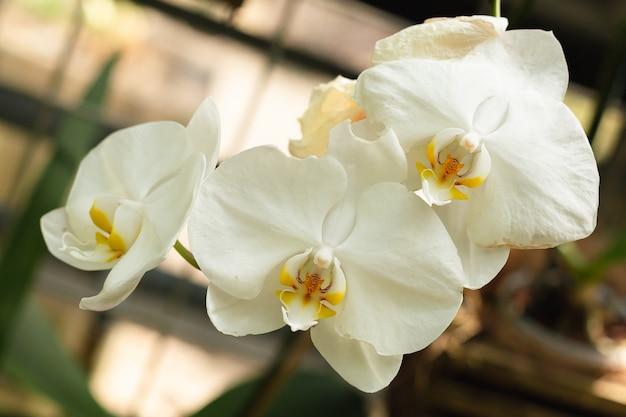 白い蘭の花。エキゾチックな植物、クローズアップ。春と自然のテーマ。