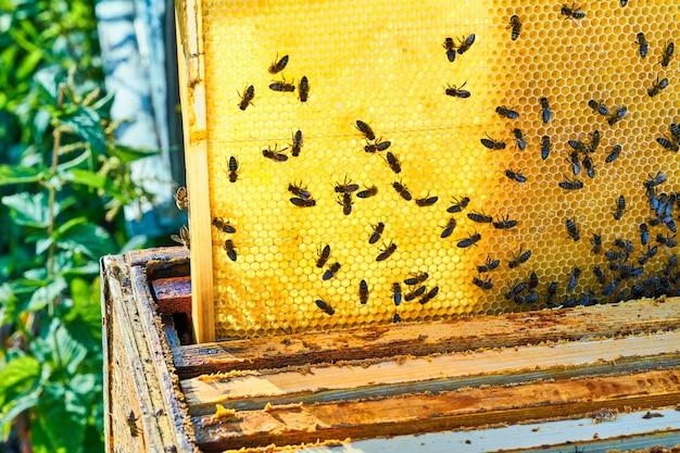 Крупным планом вид рабочих пчел на сотовый с сладким медом. мёд - продукт пчеловодства.