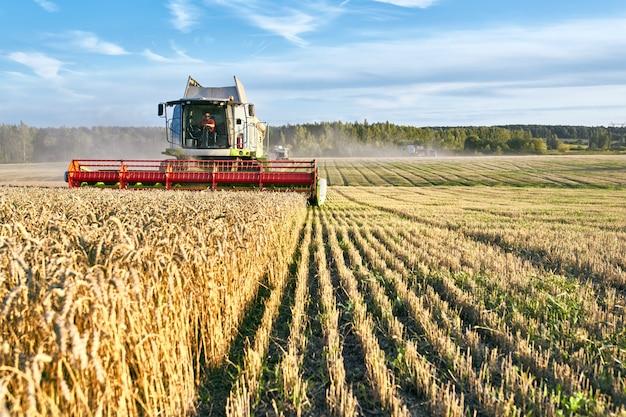 コンバインは熟した小麦を収穫します。日没の曇りのオレンジ色の空の背景にゴールドフィールドの熟した耳。