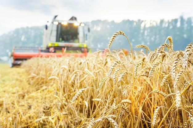 Зерноуборочный комбайн собирает спелую пшеницу. зрелые уши поля золота на предпосылке облачного оранжевого неба захода солнца.