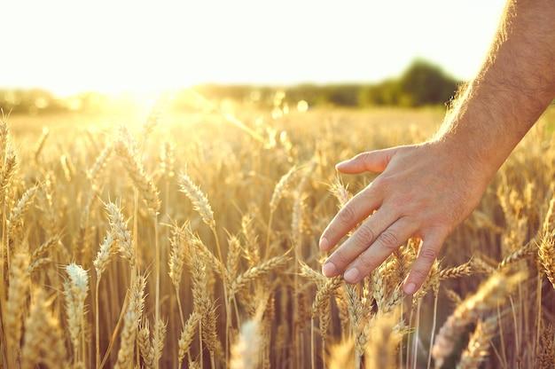 小麦畑。黄金の小麦の耳。美しい夕日の風景。