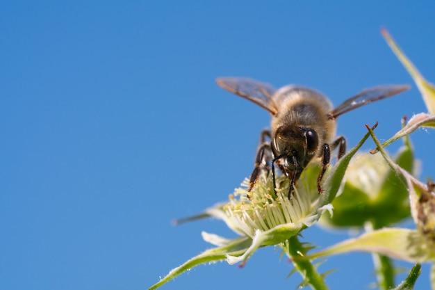 Медоносная пчела собирает пыльцу с цветов.