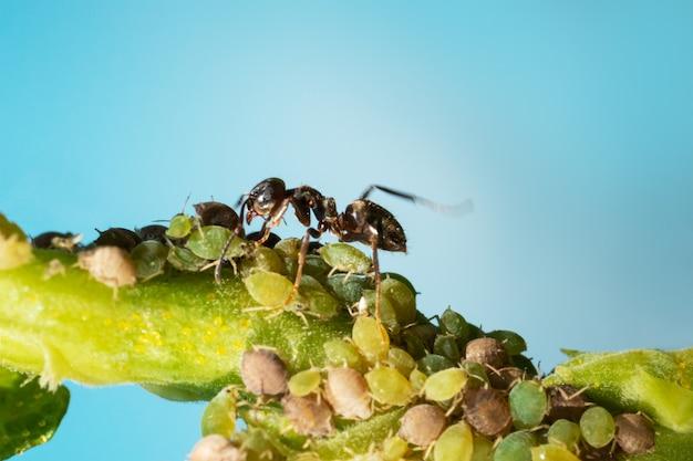 庭の植物のアブラムシとアリのコロニー