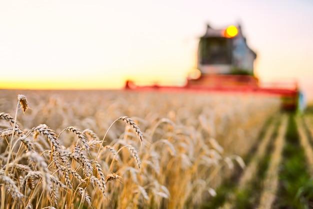 コンバインハーベスターは熟した小麦を収穫します。ゴールドフィールドの熟した耳