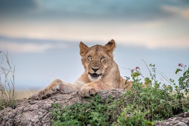 若いライオン