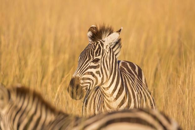Зебра в лучах утреннего солнца