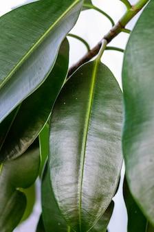 Фикус листья крупным планом