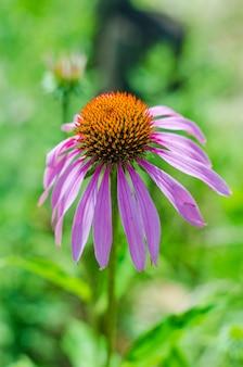 Эхинацея цветы в саду
