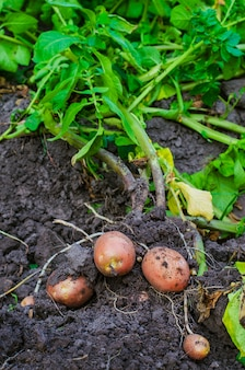地面からジャガイモを掘っただけ
