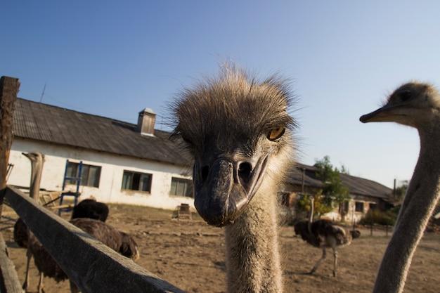 Конец головы страуса вверх в ферме страуса. страусы в загоне на ферме. забавный и странный страус заглядывает в кадр с удивлением. страус в загоне фермы