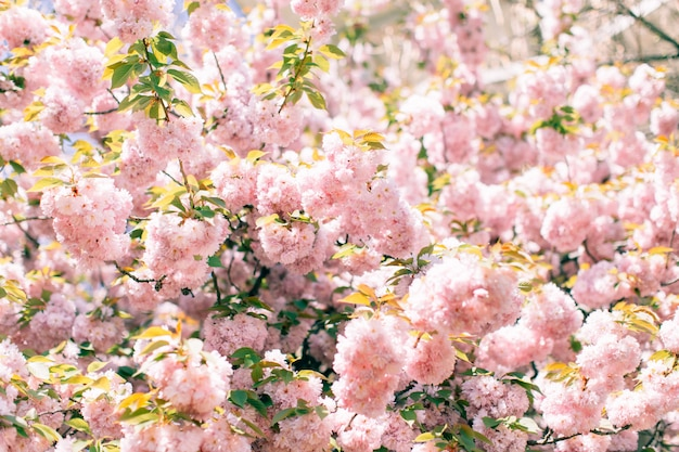 抽象的な桜。ソフトフォーカス、背景