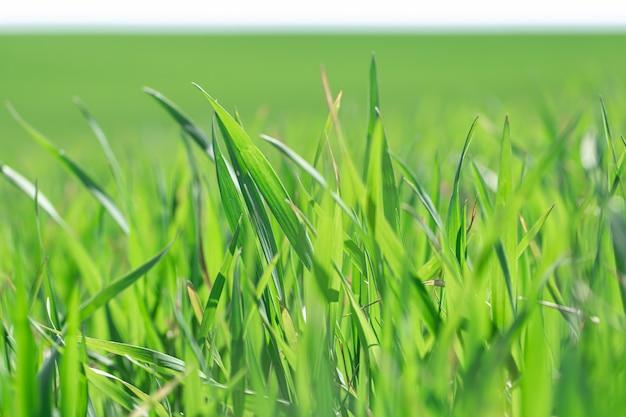 美しい緑の麦畑。フィールドで緑の小麦の芽をクローズアップ。