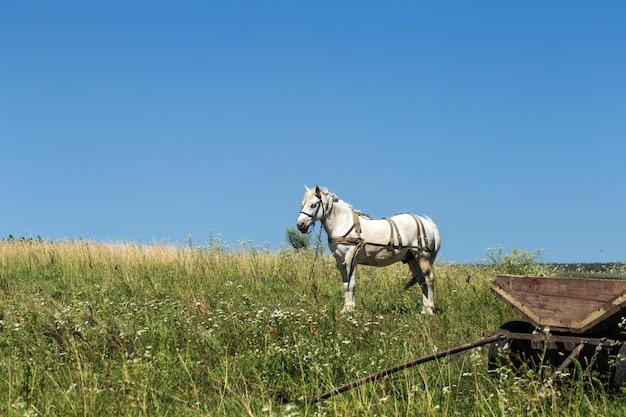 近くのフィールドで美しい白い馬