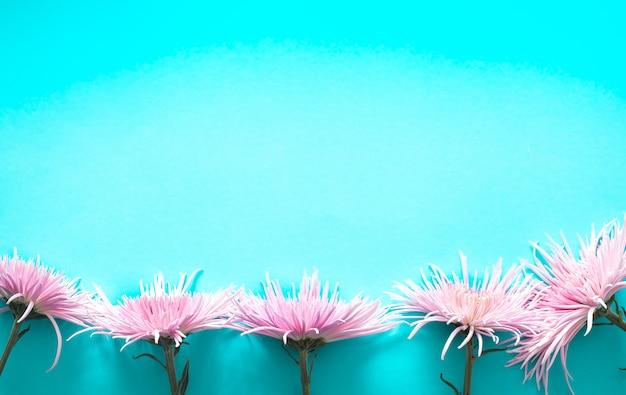 Розовая настоящая красивая хризантема на синем фоне
