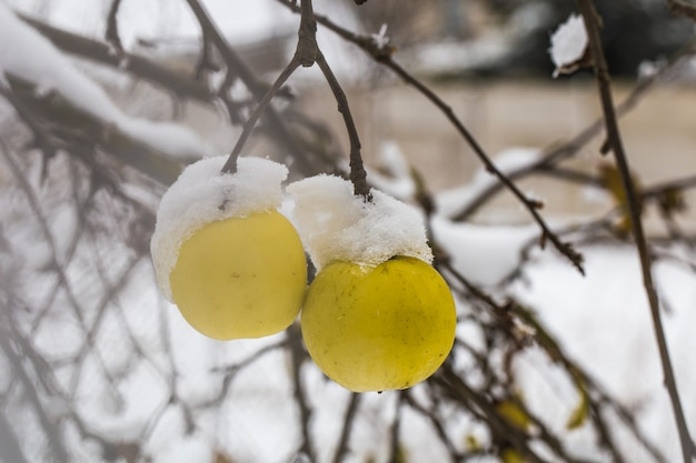 冬の初め、雪の中で枝に重さを置くアップル