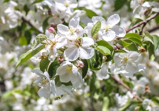Цветущее крабовое дерево крупным планом