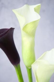 暗い壁にオランダカイウユリの花